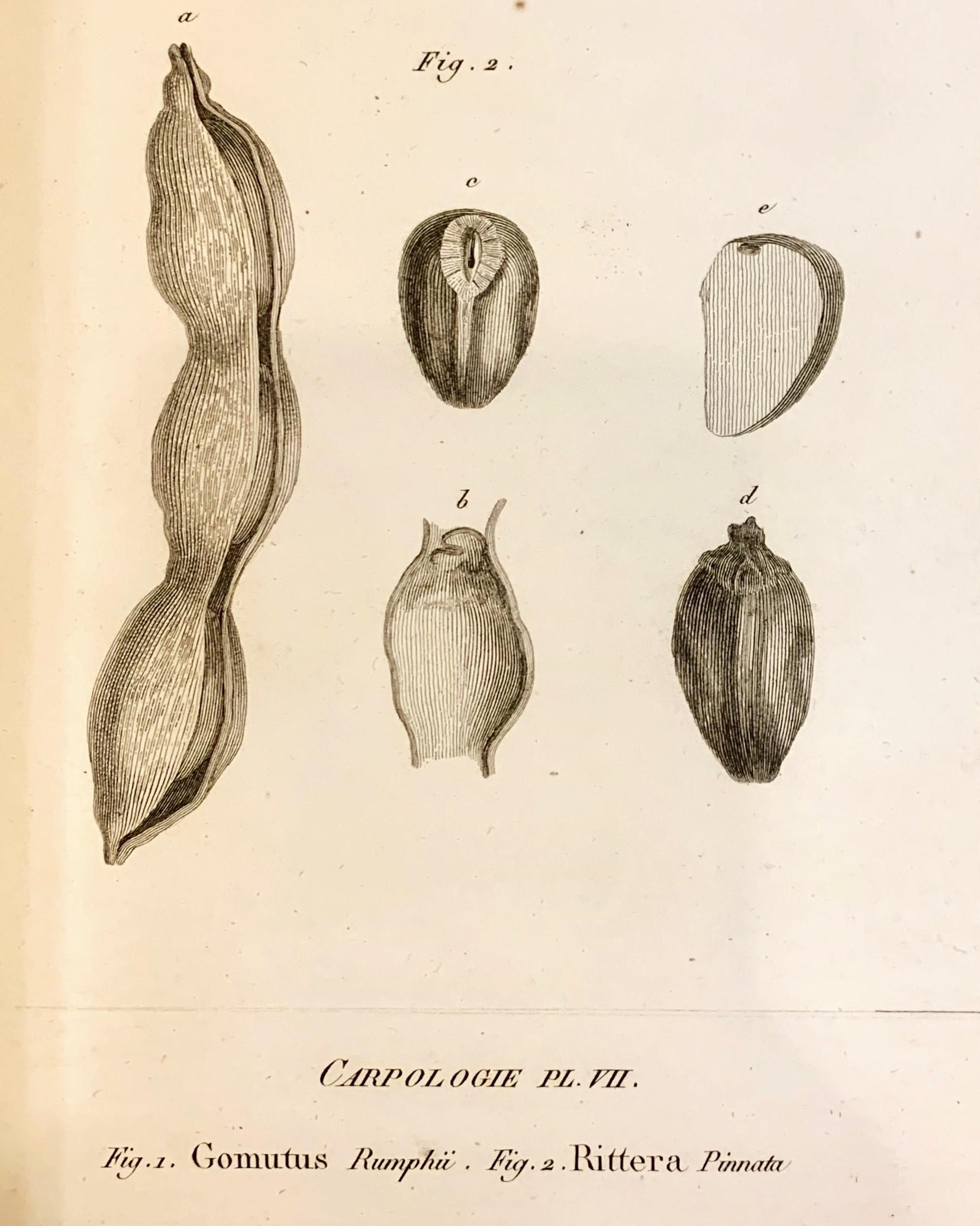 Rittera pinnata, Plate 7, José Francisco Correia da Serra, Vues carpologiques, [Paris : Museum d'histoire naturelle, 1807], American Philosophical Society Library & Museum, Pamphlets on botany, 580 Pam. v.5, no.3.