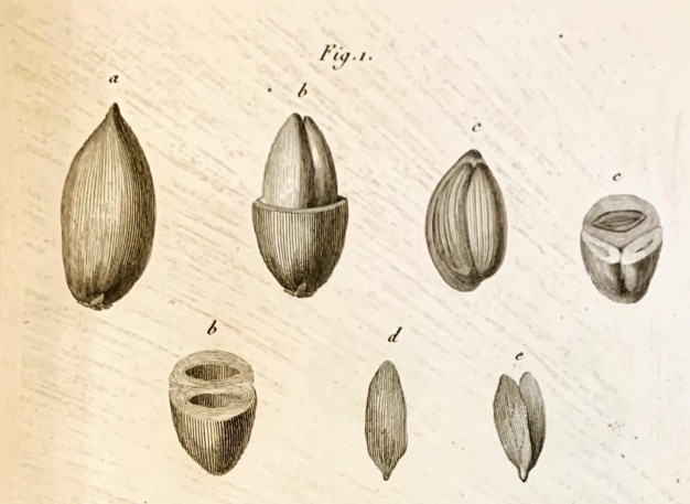 Rittera pinnata, Plate 7, José Francisco Correia da Serra, Vues carpologiques, [Paris : Museum d'histoire naturelle, 1807], American Philosophical Society Library & Museum, Pamphlets on botany, 580 Pam. v.5, no.3