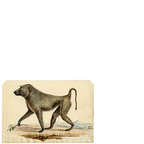 colored drawing of a baboon walking on all fours