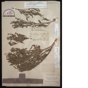dried tobacco leaves attached to paper with various notations and labels affixed