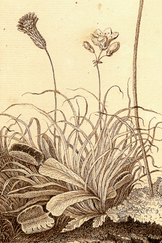Venus flytrap, William Bartram