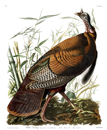 Audubon Birds of America, Wild Turkey
