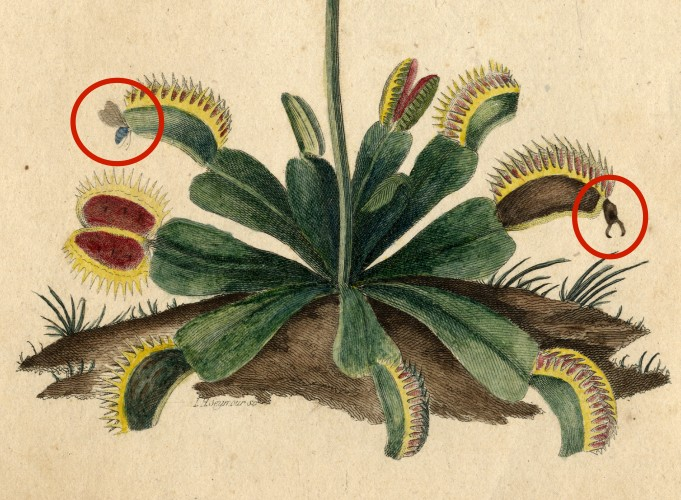 Venus Flytrap (Dionaea muscipula), William Bartram (lived 1739-1823), circa 1803