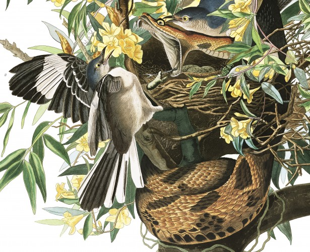 Mockingbird and rattlesnake, Audubon's Birds of America