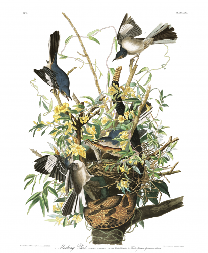 Mockingbird, Audubon's Birds of America