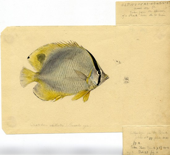 drawing of a gray fish with yellow fins and a black stripe on the front and a black spot on the top yellow fin