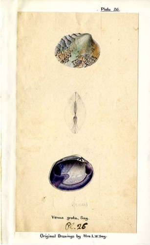 colored drawing of Venus Grata (a type of clam) with annotations and artist's name
