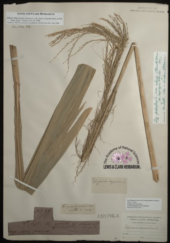 leaves of wild rice attached to paper with notations and labels affixed